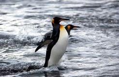 King penguin Royalty Free Stock Image