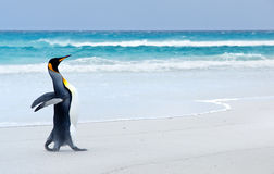 King Penguin. On the beach at Volunteer Point - Falkland Islands royalty free stock image