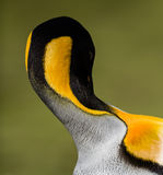 King penguin in Antarctica, doubles over to preen Stock Photo