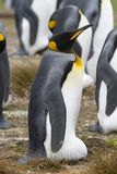 King penguin (Aptenodytes patagonicus) Royalty Free Stock Image