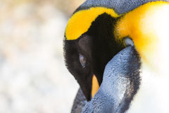 King Penguin (Aptenodytes patagonicus) close up. Stock Image
