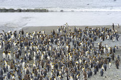 King Penguin (Aptenodytes patagonicus) colony on the beach Royalty Free Stock Photo