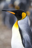King Penguin. Aptenodytes patagonicus - Colony of s in Bluff Cove, Falkland Islands royalty free stock images