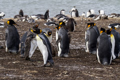King Penguin Stock Images