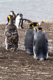 King Penguin Royalty Free Stock Photography