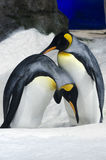 King Penguin - Aptenodytes Patagonicus Royalty Free Stock Images