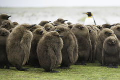 King Penguin (Aptenodytes patagonicus) Creche with adult King in Stock Image