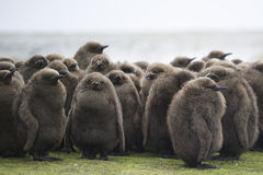 King Penguin (Aptenodytes patagonicus) Creche of large brown chi Stock Image