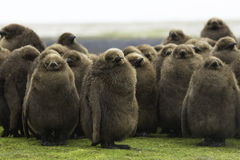 King Penguin (Aptenodytes patagonicus) Creche of large brown chi Stock Photography