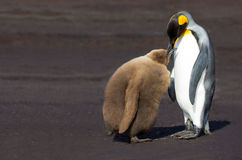 King Penguin (Aptenodytes patagonicus) feeding it's chick. Stock Photos