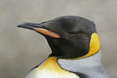King penguin, Aptenodytes patagonicus Royalty Free Stock Images