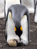 King Penguin Aptenodytes patagonicus, holding eggs on the huge legs of the Colony, Volunteer Point, Falklands / Malvinas. The King Penguin Aptenodytes Royalty Free Stock Photos