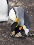 King Penguin Aptenodytes patagonicus, holding eggs on the huge legs of the Colony, Volunteer Point, Falklands / Malvinas. The King Penguin Aptenodytes Royalty Free Stock Images