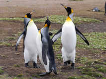 King Penguin Aptenodytes patagonicus, holding eggs on the huge legs of the Colony, Volunteer Point, Falklands / Malvinas. The King Penguin Aptenodytes Royalty Free Stock Photo