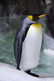 King Penguin - Aptenodytes Patagonicus Stock Images