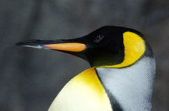 King Penguin - Aptenodytes Patagonicus Stock Photos