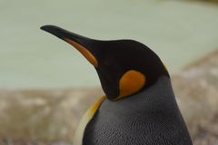 King Penguin - Aptenodytes patagonicus Royalty Free Stock Photos