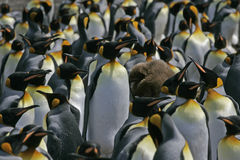 King penguin, Aptenodytes patagonicus Royalty Free Stock Photo