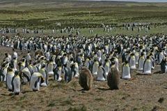 King penguin, Aptenodytes patagonicus Stock Images