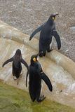 King Penguin - Aptenodytes patagonicus Stock Photography