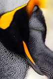 King penguin, Aptenodytes patagonicus. Penguin detail cleaning of feathers detail portrait of sea bird. Penguin with black and yel Stock Images