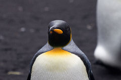 King Penguin (Aptenodytes patagonicus) in the rain Royalty Free Stock Images