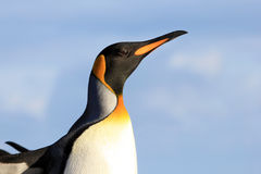 King penguin, aptenodytes patagonicus, Saunders, Falkland Islands Stock Image