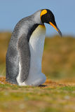 King penguin stock photos