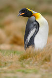 King penguin, Aptenodytes patagonicus sitting in grass with tilted head, Falkland Islands. King penguin, Aptenodytes patagonicus sitting in the grass Royalty Free Stock Image