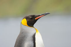 King Penguin (Aptenodytes patagonicus) standing on the beach Stock Image