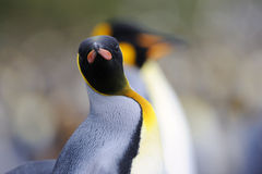 King Penguin (Aptenodytes patagonicus) standing on the beach Royalty Free Stock Image