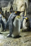 King Penguin at KAIYUKAN royalty free stock image