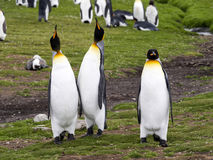King penguin, Aptenodytes patagonicus, Volunteer point, Falkland Islands - Malvinas. The king penguin, Aptenodytes patagonicus, Volunteer point, Falkland Islands Royalty Free Stock Photos
