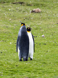 King penguin, Aptenodytes patagonicus, Volunteer point, Falkland Islands - Malvinas. The king penguin, Aptenodytes patagonicus, Volunteer point, Falkland Islands Royalty Free Stock Photography