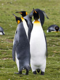 King penguin, Aptenodytes patagonicus, Volunteer point, Falkland Islands - Malvinas. The king penguin, Aptenodytes patagonicus, Volunteer point, Falkland Islands Stock Photos