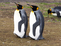 King penguin, Aptenodytes patagonicus, Volunteer point, Falkland Islands - Malvinas. The king penguin, Aptenodytes patagonicus, Volunteer point, Falkland Islands Stock Photography