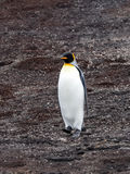 King penguin, Aptenodytes patagonicus, Volunteer point, Falkland Islands - Malvinas. The king penguin, Aptenodytes patagonicus, Volunteer point, Falkland Islands Stock Image
