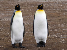 King penguin, Aptenodytes patagonicus, Volunteer point, Falkland Islands - Malvinas. The king penguin, Aptenodytes patagonicus, Volunteer point, Falkland Islands Royalty Free Stock Images
