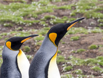 King penguin, Aptenodytes patagonicus, Volunteer point, Falkland Islands - Malvinas. The king penguin, Aptenodytes patagonicus, Volunteer point, Falkland Islands Stock Photo