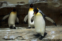 King penguin (Aptenodytes patagonicus). Royalty Free Stock Images