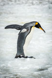 King penguin balancing with flippers on ice Stock Photo