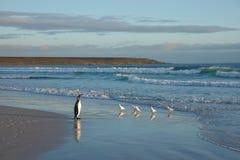 King Penguin on a Beach Royalty Free Stock Photos