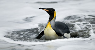 King Penguin On Belly In Water. A King Penguin returning from the sea gets washed ashore and lies belly flat in the shallows Stock Photos
