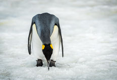 King penguin bending to peck at ice Stock Photos