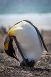 King penguin bending to preen on beach Royalty Free Stock Photos