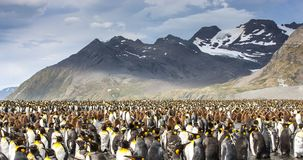 King penguing colony in South Georgia. King penguin breeding colony in an island of South Georgia royalty free stock image