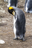 King Penguin - Busy ! Stock Photography