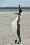 King Penguin Calling Stock Images