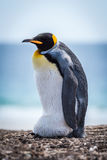 King penguin carrying egg on shingle beach stock photo