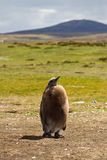 King Penguin Chick Royalty Free Stock Photography